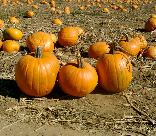 Get all-day admission for 4 to Lil Harvester's Pumpkin Patch for ONLY $20! Save 50%!